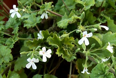 Pelargonium odoratissimum (apple) is one of the first to bloom each spring.
