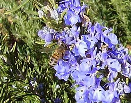 Bee in Tuscan Blue Rosemary