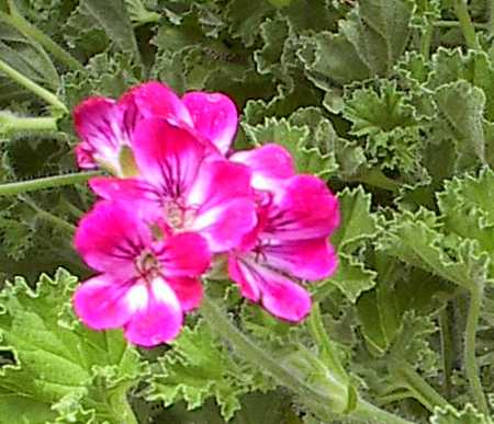 Pelargonium 'Brilliant'