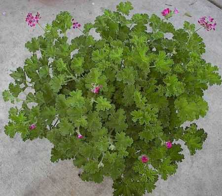 Brilliant Geranium mother plant