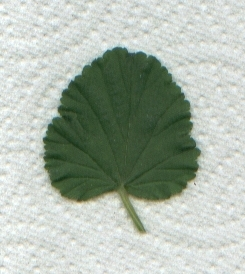 Leaf of Pelargonium 'Brilliant'