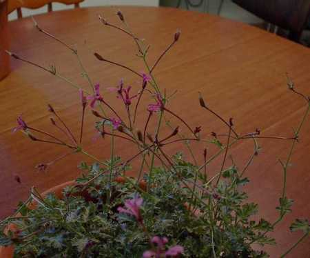 Pelargonium ionidiflorum (celery) with flowers and seedheads