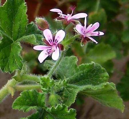 Pelargonium 'Chocolate Mint'