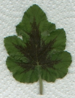 Pelargonium 'Chocolate Mint' leaf