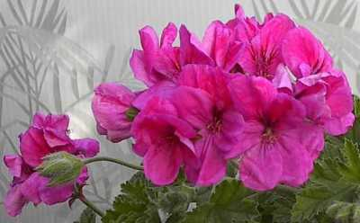 Pelargonium 'Clorinda' (forest scented)