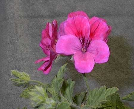 The flowers of Pelargonium 'Clorinda'