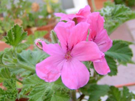 Pelargonium 'Clorinda' is a forest scented geranium.