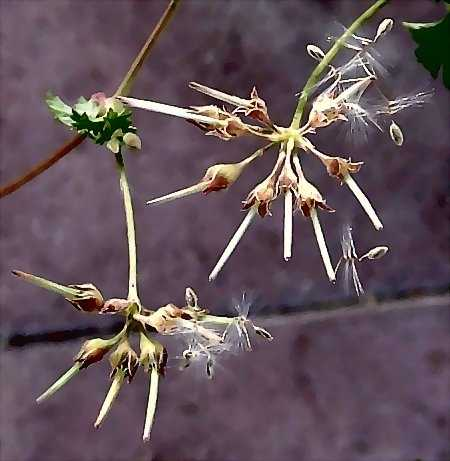 Coconut Geranium (P. grossularioides) seeds bust out.