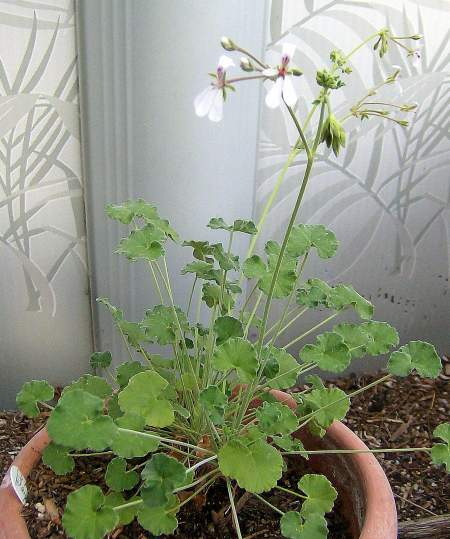Pelargonium dichondrifolium smells like black peppper.