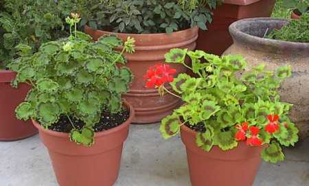 Zonal geraniums 'Distinction' and 'Alpha'