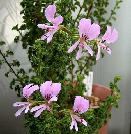Pelargonium crispum 'Fingerbowl Lemon'