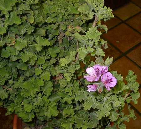 Pelargonium 'Ginger'