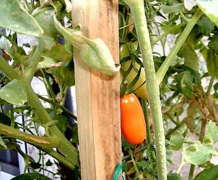 Juliet is a grape tomato with outstanding heat tolerance.