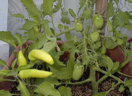 Hot Banana Peppers and Juliet Tomatoes