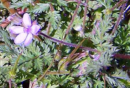 Tentatively identified as Erodium cicutarium, aka Redstem Filaree