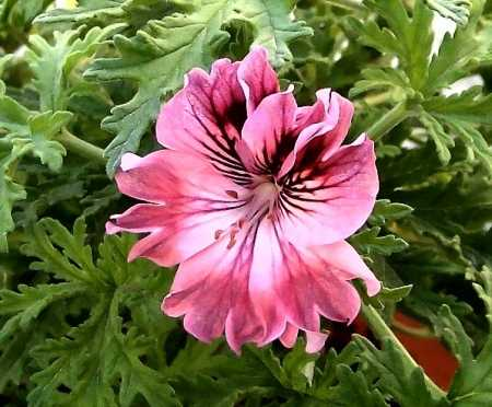 Pelargonium 'Lara Bounty'