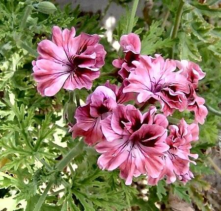 Pelargonium 'Lara Bounty' is a rose scented geranium