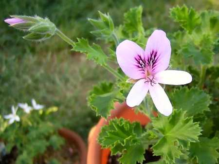 Pelargonium 'Lime'