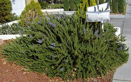 Tuscan Blue Rosemary surrounds the mailbox.