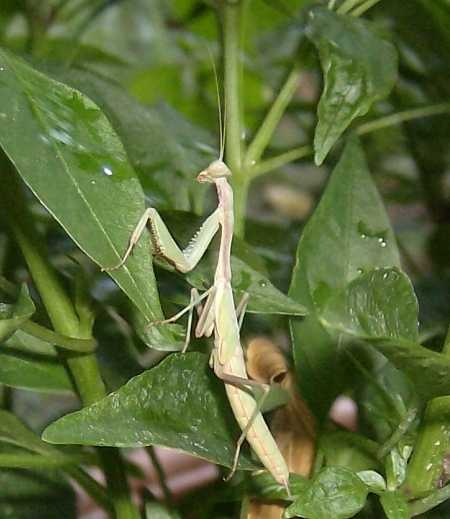 A praying mantis is living in Chilly Chili.