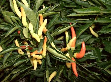 Close-up of Medusa peppers