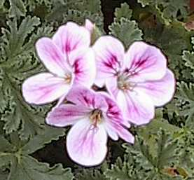 Pelargonium 'Mexican Sage' (spicy scent)