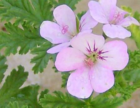 Pelargonium 'Mexican Sage' is a spicy scented geranium.