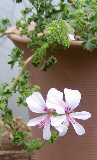 Pelargonium crispum 'Minor' is a lemon scented geranium.