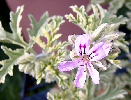 Pelargonium 'Mint-Scented Rose'