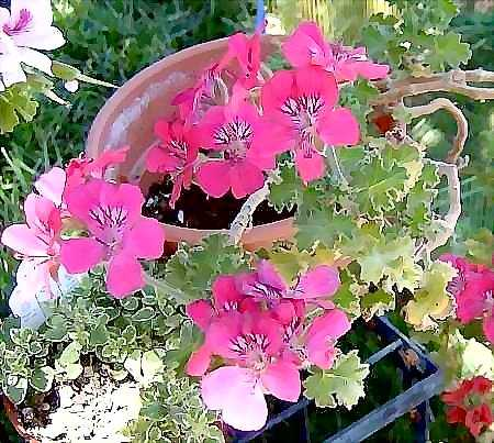 Pelargonium 'Mrs. Kingsley'