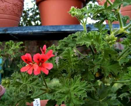 Pelargonium 'Mrs. Taylor'