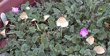Erodium reichardii with mushrooms