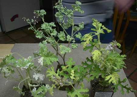 Pelargonium 'Peacock', P. x fragrans (Nutmeg), P. 'Village Hill Oak' (L to R)