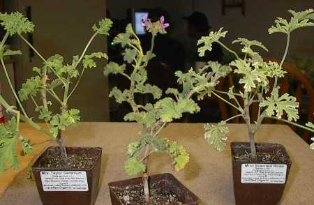 Pelargonium 'Mrs. Taylor', P. capitatum, P. 'Mint-scented Rose' (L to R)