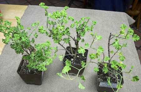 Pelargonium 'Finger Bowl Lemon', P. crispum (lemon scented), P.'Cinnamon' (L to R)