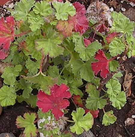 Pelargonium x fragrans 'Nutmeg' with red leaves (March 18, 2006)