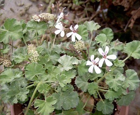 Nutmeg Scented Geranium is always one of the first to bloom in the spring.