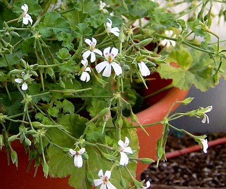 Pelargonium odoratissimum is apple scented.