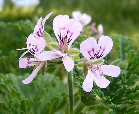 Pelargonium 'Old Fashioned Rose'