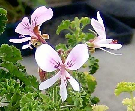 Pelargonium 'Peach'