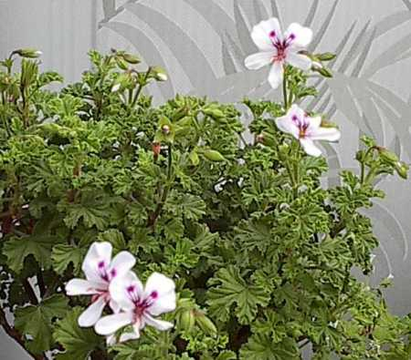Pelargonium 'Sandalwood'