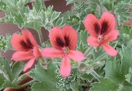 Pelargonium 'Old Scarlet Unique'