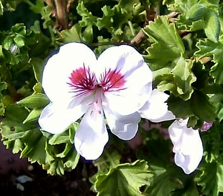 Pelargonium 'Spring Park' has an appealing face.