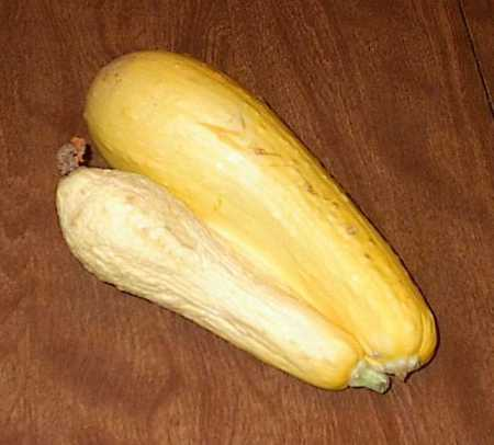 Yellow summer squash Siamese twins