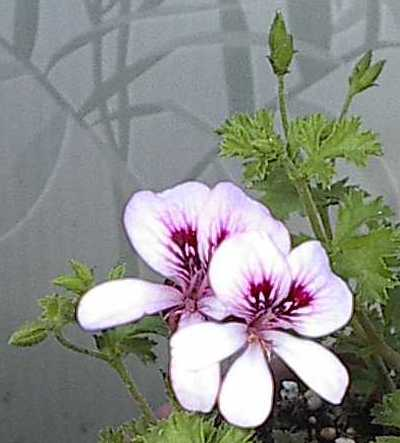 Pelargonium 'Strawberry'