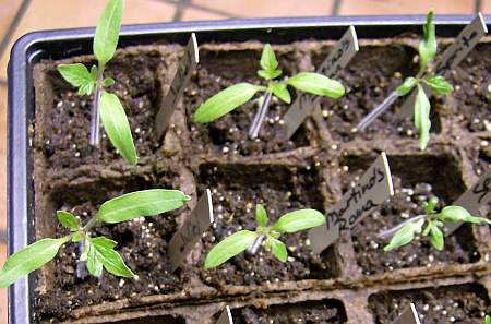 Tomato seedlings: Juliet (left), Martino's Roma (center), Sprite (right)
