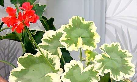 Tricolor is a fancy-leafed zonal geranium.